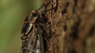 Cicada feeding on tree