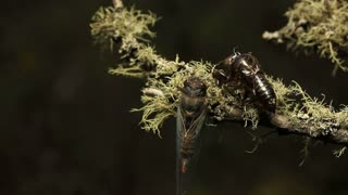 Cicada- Golden Twanger, Diemeniana euronotiana
