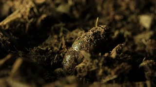 Cicada nymph emerging from ground