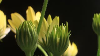 Close up bud growing time lapse blossom blooming White Lightning flowers
