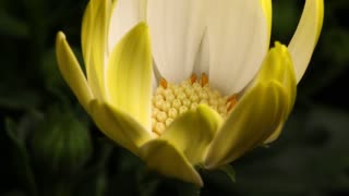 Close up of Flower time lapse blossom bud blooming White Lightning flowers