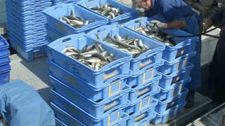 Commercial Fishing Industry fisherman fish catch on boat at fishing docks:  This clip is of fish from a fishing boat being processed and put into containers to be taken to the local fish market.