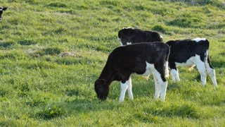 Cow calf graze in a green field