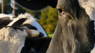 Cow close up of eyes