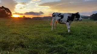 Dairy cattle cow farming sunset / sunrise: These clips are of Holstein Friesians often shortened as Friesians, dairy cattle cows used to produce milk on a lush green farm during a spectacular sunset