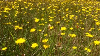 Dandelion Wildflower Field with grass would suit use as a background