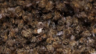 Dead Bees in honey bee hive / pests and diseases