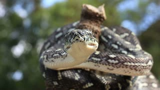 Diamond Python Snake Reptile - Morelia spilota spilota