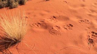 Dingo animal tracks outback Australia Landscape Red Desert Sand