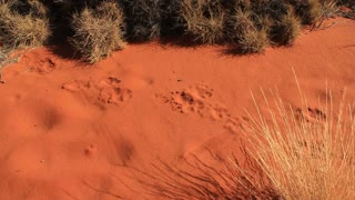 Dingo animal tracks outback Australia Landscape Red Desert Sand