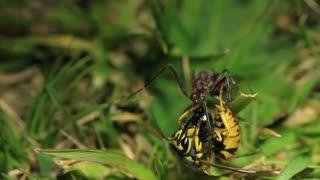 European Wasy Vs Bull Ant 3