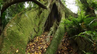 Fig tree roots - Temperate Rainforest Australian Landscape