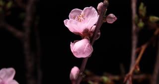 Floral Pink Cherry blossom spring flower plant time lapse