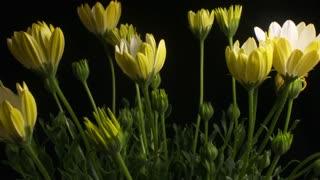 Flower opening time lapse blossom bud blooming White Lightning flowers
