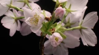 Flower timelapse of Cherry flowers blossom bud growing time lapse