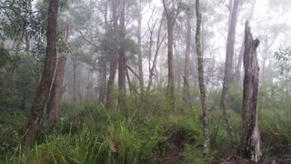 Fog rolling in eucalypt rainforest Australia landscape, misty mountain forest fog precipitation. Temperate rainforest NSW