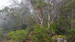 Fog rolling in eucalypt rainforest Australia landscape