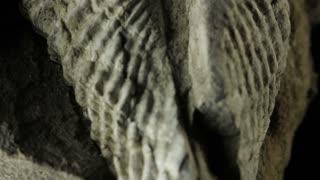 Fossil of a Brachiopod (Permian)