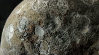 Fossil of a Gastropoda / gastropod (Permian)
