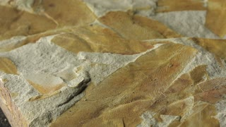 Glossopteris fossil extinct seed fern from Permian