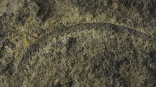 Graptolite / Graptolithin first appeared in the Cambrian Period
