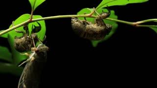 Greengrocer Cicada - Cicadinae australasiae