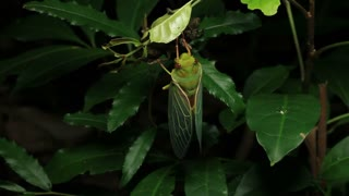 Greengrocer Cicada Insect - Cicadinae australasiae