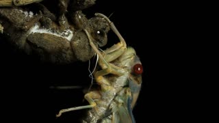 Greengrocer Cicada Insect Footage - Cicadinae australasiae_1.mov