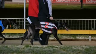 Greyhound dog on race track