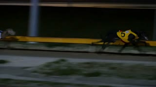 Greyhound dog racing competitive sport betting slow-mo