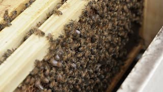 Honey bee macro footage of bee hive and honey production beekeeper