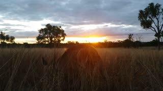 Kangaroo Eating Australian Landscape Sunset / Sunrise