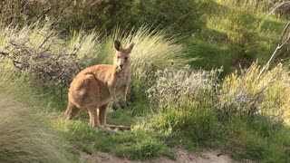 Kangaroo Wallaby - Australian Wildlife