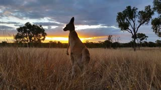 Kangaroo Wallaby Eating Sunset Australia Landscape