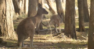 Kangaroo Wallaby Marsupial Animal Australia