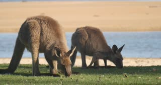 Kangaroo Wallaby Marsupial Animal Eating Australia