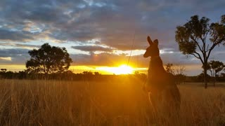 Kangaroo Wallaby Sunset Australia Landscape