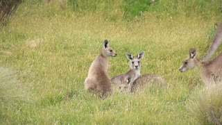 Kangaroo Wallaby Troop - Australian Wildlife