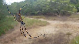 Large Spider in Web