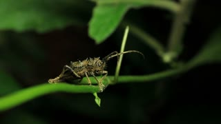 Longhorn Beetle Insect - Cerambycidae