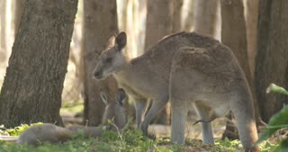 Male Kangaroo Wallaby Marsupial Animal Australia