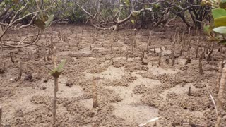 Mangrove Swamp Forest - Marine Estuaries Mud Flats: Mangrove swamps are found in tropical and subtropical tidal areas. Areas where mangal occurs include estuaries and marine shorelines and estuaries.