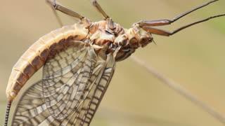 Mayfly / shadfly Ephemeroptera Insect 2