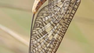 Mayfly / shadfly Ephemeroptera Insect 3