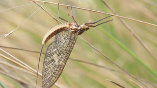 Mayfly / shadfly Ephemeroptera Insect 4