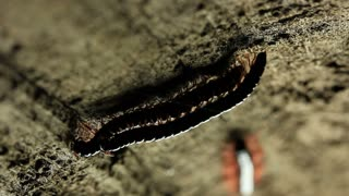 Millipede Mating Macro Insect Footage