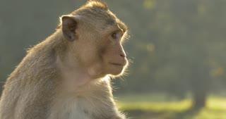 Monkey eating Angkor Wat Cambodia ancient civilization temple