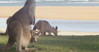 Mother and Joey  Kangaroo Wallaby Marsupial Animal Australia