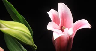 Pink Oriental Lilies flower time lapse opening