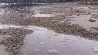Rising Tide in Mangrove Swamp Forest - Marine Estuaries Mud Flats: Mangrove swamps are found in tropical and subtropical tidal areas. Areas where mangal occurs include estuaries and marine shorelines and estuaries.